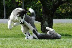 ♥Gorgeous Siberian Husky puppies at play.