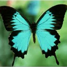 Love the teal and black    Papilionidae butterfly   New Guinea