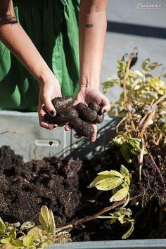 Paul Potato: Kartoffelernte{Zeit} Ad Home