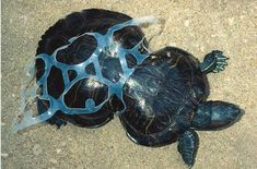 sea turtle affected by plastic pollution. une tortue prise au piège de la pollution humaine