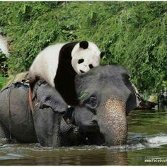 Elephant and panda duo
