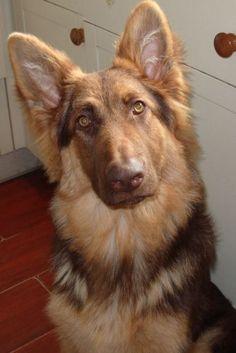 Liver sable German shepherd