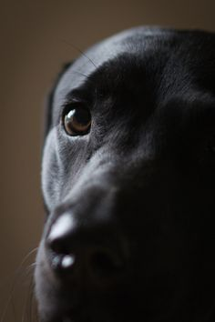 Mind Blowing Facts About Labrador Retrievers And Ideas. Amazing Facts About Labrador Retrievers And Ideas. Golden Retriever, Perro Labrador Retriever, Lab Puppies, Cute Puppies, Cute Dogs, Beautiful Dogs, Animals Beautiful, Cute Animals, Husky Corgi