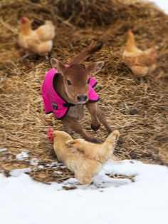 How cute is this?! The calf is chasing the chickens! Wicked in Pink | Raising Jane Journal