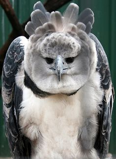 "Harpy Eagle. Harpy Eagles (Harpia harpyja) are iconic to the rain forests of Central and South America. This species is one of the largest and most powerful birds of prey in the world. They are rated ""Near Threatened"" on the IUCN Red List."