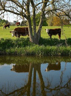 Country Life, I miss raising cattle on the farm. Country Farm, Country Life, Country Living, Country Style, Country Roads, Country Kitchen, The Farm, Photo Animaliere, Country Scenes