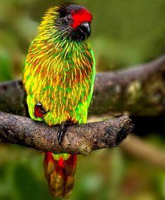 Chalcopsitta scintillata - Yellowish-streaked Lory