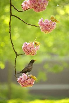 Bird in a blooming cherry tree