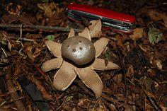 Myriostoma coliforme Pepper Pot Fungi, Stuffed Peppers, Christmas Ornaments, Holiday Decor, Nature, Home Decor, Naturaleza, Decoration Home, Mushrooms