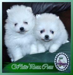#whitepomeranian white Pomeranian puppies Little Dogs For Sale, Cute Little Dogs, White Pomeranian Puppies, Pomeranians, Husky, Cute Animals, Animal Babies, Bebe, Pretty Animals