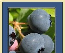 Pterostilbene versus resveratrol.    Pterostilbene is stronger and more effective than resveratrol for its inhibitory effects on cancers:    Continue reading on Examiner.com Better and more potent than resveratrol. Can prevent & decrease many disorders. - Washington DC natural health | Examiner.com http://www.examiner.com/natural-health-in-washington-dc/better-and-more-potent-than-resveratrol-prevent-many-disorders#ixzz1reHcjb2q