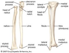 Bones of Forearm: Radius & Ulna Radius: disc at head Ulna: notch at head Bones of Leg: Tibia & Fibula Tibia: larger & condyles Fibula: smaller & thinner Human Skeleton Anatomy, Skeleton Muscles, Human Body Anatomy, Human Anatomy And Physiology, Leg Anatomy, Anatomy Bones, Muscle Anatomy, Anatomy Study, Anatomy Images