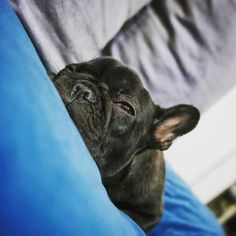 Domenica mattina! Per alzata di mano: In quanti si trovano in queste condizioni?  Foto di: @applebouledogue  To be featured tag #BauSocial and Follow us!  Follow our pawtners: @miaosocial  @areacmilano  #Milano #Dog #cane #bulldog #frenchbulldog #sunday #domenica #love #amazing #beautiful #happy #tbt #sleepy #morning #doggo #doggos #goodboy #blue #colors #blackandblue #ears #italia #roma #spring #dogday