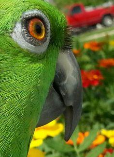 Charlie, Yellow Naped Amazon Parrot
