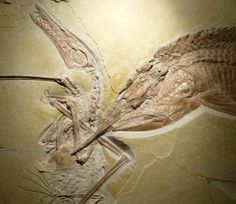 Fish that swallowed a pterosaur that swallowed a fish. Image: Eberhard Frey, Helmut Tischlinger/PLoS One.