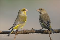 Carduelis Chlorids / European Greenfinch by hans24 via http://ift.tt/1Tgq5I2