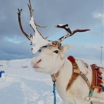 """Discovered by Timandra Dyer. """"Reindeer pulled our sleigh in Tromso. Even saw the breathtaking Aurora Borealis!"""""""