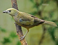 Thraupis palmarum (Wied), vulgarmente chamado de sanhaço-de-coqueiro,é um endêmico pássaro traupídeo latino-americano, pertencente à família dos tiês. Mede cerca de 18 cm, pesando em média 36 g. Não apresentam quase nenhum diformismo sexual, a não ser pelo fato da fêmea apresentar uma coloração ligeiramente mais pálida.