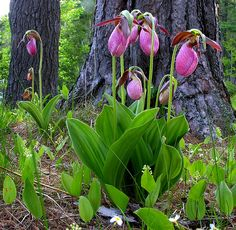 Lady Slippers (Cypripedium acaule) Maine wild orchids... they are also in many of the NE states