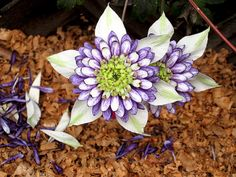 Clematis purple Photography girls room white starburst petals flower for her spring green - The music of the earth - fine art photograph