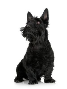 Scottish terriers aren't the only terriers from Scotland. They are one of several types of terrier hailing from the northern reaches of the United Kingdom. The Scottie's ancestors earned their keep by chasing small prey through rugged terrain, so their reputation for being sturdy despite their size is well deserved.