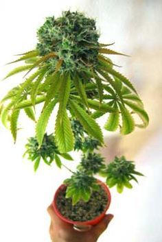 This marijuana plant was given 12-12 light from seed to force the plant to start flowering right away