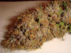When to Pick Marijuana Buds | Master Kush | Marijuana-Seeds-Weed.com