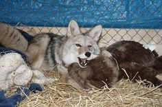 Tippy the coyote becomes a new friend for Zoe  Since her arrival more than two years ago, Zoe the coyote has enjoyed the run of a very large enclosure surrounding forest and field.  Now, a companion has arrived for Zoe.