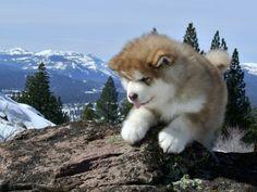 Alaskan Malamute Puppies -- Snowlion Alaskan Malamutes -- Alaskan Malamute breeders California & Nevada