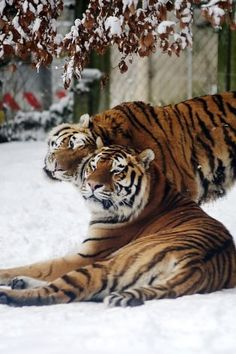 Rubbed the right way: Two Siberian tigers act as if they know it's almost Valentine's Day at the Mulhouse Zoo in Germany. Photo: Sebastien Bozon, AFP/Getty Images
