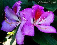 Flores del popular Árbol Orquídea; planta del género Bauhinia