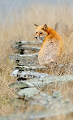 a well balanced fox ~ Puget Sound, Washington ~ Sitting on a wooden fence that has a zigzag pattern