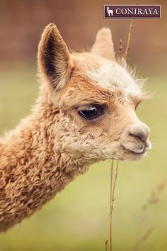 Our cute baby alpaca is looking at You! :D