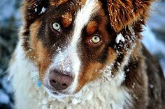 The Aussie Weekly #68 — The Weekly Special Feature for Australian Shepherd Lovers — Photo: Cassidy Williams, Aussie: Wrangler