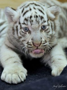 White Tiger Baby by Josef Gelernter Baby White Tiger, White Tiger Cubs, White Tigers, White Lions, Tiger Tiger, Bengal Tiger, Cute Wild Animals, Animals And Pets, Mundo Animal