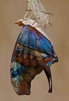 Mariposa saliendo de su crisálida.