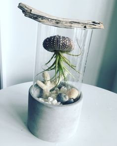 Air plant terrarium with sea urchin shell.