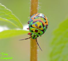 Indian Jewel Bug, Scutelleridae