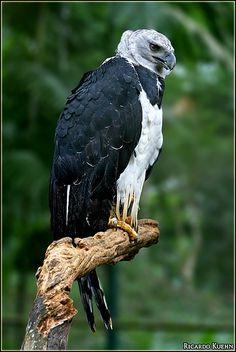 Harpy Eagle(Harpia harpyja) photographed by Ricardo Kuehn at Rio Vermelho, Salvador, Bahia Brazil on 28th May 2007.