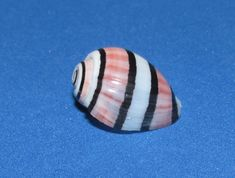 HYDATINA AMPLUSTRE, 16MM, MARQUESAS. GORGEOUS SPECIMEN. GREAT COLOR. REALLY NICE SPECIMEN. F2/F3 CONDITION. FULL DATA. WE NOW HAVE A NEW INTERNET SITE. CHECK US OUT, SHELLMAMA'S QUALITY SEASHELLS AT SHELLMAMA.WEEBLY.   eBay!