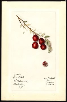 Heaveninawildflower - Early Black Cranberry (1914). Watercolour by Mary...