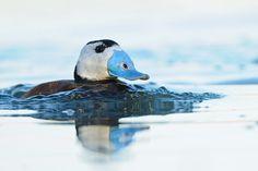 La malvasía cabeciblanca, el pato inconfundible que podemos olvidar