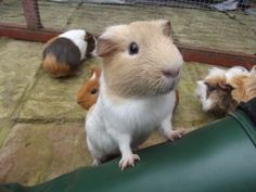 The Excellent Adventure Sanctuary. Buy The Right Size Guinea Pig Cage. Photo by maskarade Purchasing a guinea pig cage in a pet shop is unfortunately a good way to ensure that it is in fact too small for your pet's needs. Baby Guinea Pigs, Guinea Pig Care, Cute Baby Animals, Animals And Pets, Funny Animals, Guinea Pig Breeding, Cute Piggies, Pet Rabbit, Wombat
