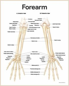 Forearm Anatomy-Skeletal System Anatomy and Physiology for Nurses Human Skeleton Anatomy, Human Body Anatomy, Human Anatomy And Physiology, Anatomy Bones, Hand Anatomy, Anatomy Study, Forearm Anatomy, Medical Anatomy, Physical Therapy
