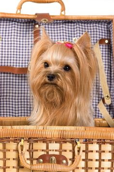 See more How to groom a Yorkshire Terrier?