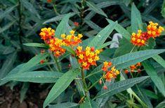 "Asclepias curvassavica ""Bloodflower"" - on LA County's list of approved drought tolerant plants. Drought Tolerant Plants, Lawn And Garden, Landscape, September, Bee, Butterfly, Gardening, Google, Gardens"