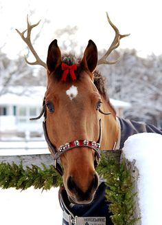 "snapshot-equestrian: ""Sully's annual Christmas photo! (last year's here) """
