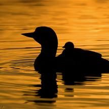 Loon rider silhouette, photo by Mike Lentz @frontiernet.net