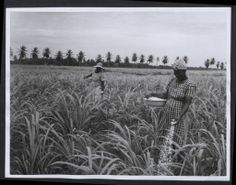 Description: Jamaica. 'Sugar industry, cane-growing'. Photograph No.: 222 41070 H. Official Jamaica photograph compiled by Central Office of Information. Publicity statement on reverse.   Location: Jamaica  Date: 1960 April