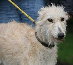 Hetty, 2 y.o Rough coat Lurcher Girlie. Hetty is a very sweet natured girl with people. She gets on in the main with the kennel dogs but as she has a slighly nervous edge she tries to hide with bravado she can be a little growly at times. She would definately be suited to a home as an only dog with someone around all or most of the time to begin with or with a steadier male already in residence. Looking for her forever home. www.greyhoundgap.org.uk